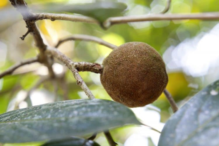 Sandalwood tree, popular ayurvedic plant, taken in Kerala, India