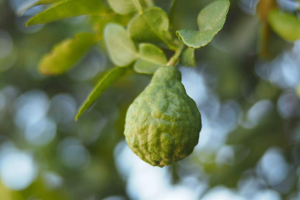 what-does-bergamot-smell-like