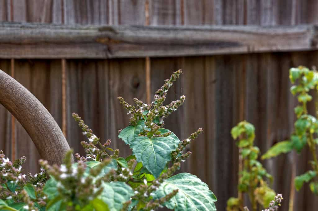 patchouli-plant-blooming