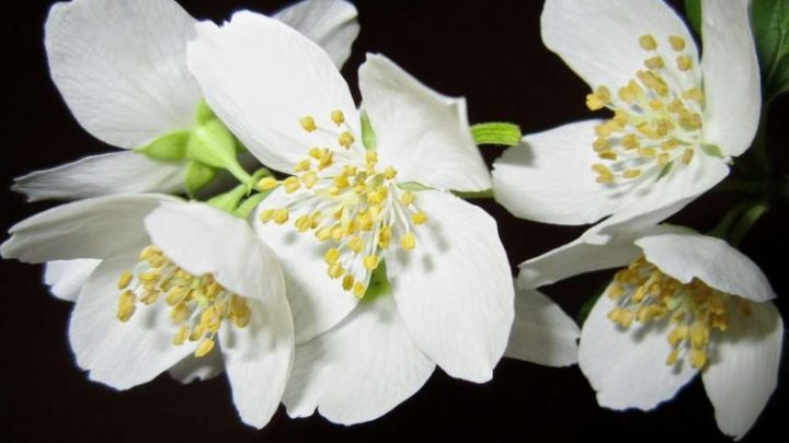What Does Jasmine Smell Like? Plus 10 Jasmine Perfumes to Try