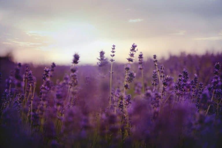 Best Lavender Perfumes