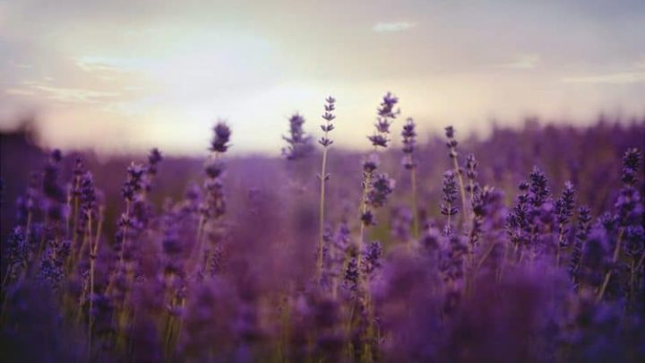 5 Best Lavender Perfumes Plus Everything You Need To Know About Lavender