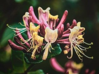 honeysuckle parfum