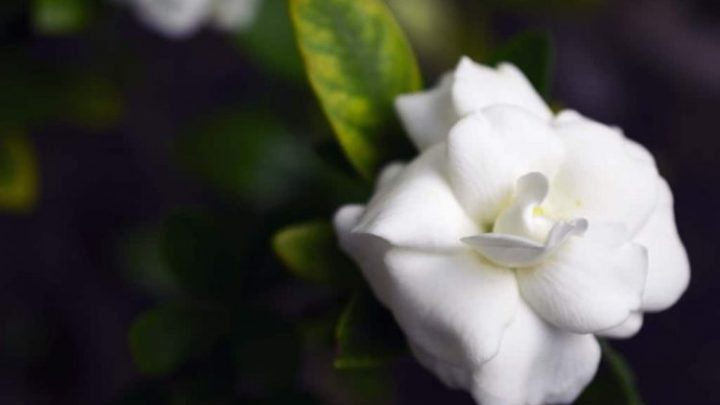 All About Gardenia Perfume Plus 10 of the Best